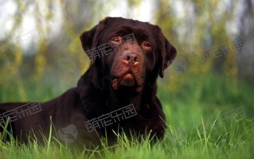 狗狗为什么喜欢用鼻子蹭东西?